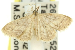 (Idaea elaphrodes - 11ANIC-06169)  @14 [ ] CreativeCommons - Attribution Non-Commercial Share-Alike (2011) CSIRO/BIO Photography Group Centre for Biodiversity Genomics