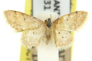 (Idaea elachista - 11ANIC-06171)  @11 [ ] CreativeCommons - Attribution Non-Commercial Share-Alike (2011) CSIRO/BIO Photography Group Centre for Biodiversity Genomics