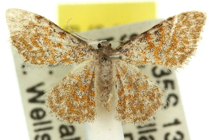 (Idaea miltophrica - 11ANIC-06366)  @14 [ ] CreativeCommons - Attribution Non-Commercial Share-Alike (2011) CSIRO/BIO Photography Group Centre for Biodiversity Genomics