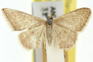 (Idaea scaura - 11ANIC-06370)  @11 [ ] CreativeCommons - Attribution Non-Commercial Share-Alike (2011) CSIRO/BIO Photography Group Centre for Biodiversity Genomics