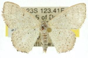 (Idaea eucrossa - 11ANIC-06377)  @14 [ ] CreativeCommons - Attribution Non-Commercial Share-Alike (2011) CSIRO/BIO Photography Group Centre for Biodiversity Genomics