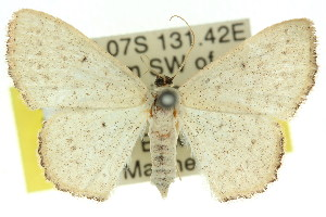 (Idaea eucrossa - 11ANIC-06378)  @14 [ ] CreativeCommons - Attribution Non-Commercial Share-Alike (2011) CSIRO/BIO Photography Group Centre for Biodiversity Genomics