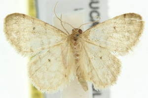 (Idaea pilosata - 11ANIC-06394)  @13 [ ] CreativeCommons - Attribution Non-Commercial Share-Alike (2011) CSIRO/BIO Photography Group Centre for Biodiversity Genomics