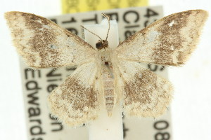 (Idaea sp. ANIC4 - 11ANIC-06396)  @13 [ ] CreativeCommons - Attribution Non-Commercial Share-Alike (2011) CSIRO/BIO Photography Group Centre for Biodiversity Genomics