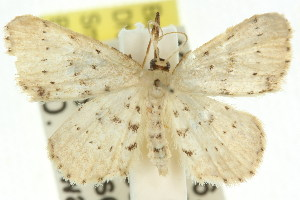 (Idaea sp. ANIC8 - 11ANIC-06413)  @14 [ ] CreativeCommons - Attribution Non-Commercial Share-Alike (2011) CSIRO/BIO Photography Group Centre for Biodiversity Genomics