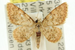 (Idaea sp. ANIC10 - 11ANIC-06421)  @14 [ ] CreativeCommons - Attribution Non-Commercial Share-Alike (2011) CSIRO/BIO Photography Group Centre for Biodiversity Genomics