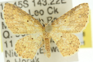 (Idaea sp. ANIC13 - 11ANIC-06428)  @14 [ ] CreativeCommons - Attribution Non-Commercial Share-Alike (2011) CSIRO/BIO Photography Group Centre for Biodiversity Genomics