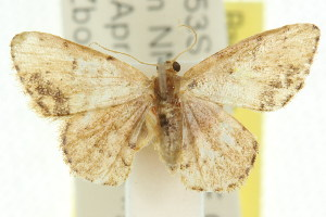 (Idaea sp. ANIC14 - 11ANIC-06431)  @13 [ ] CreativeCommons - Attribution Non-Commercial Share-Alike (2011) CSIRO/BIO Photography Group Centre for Biodiversity Genomics