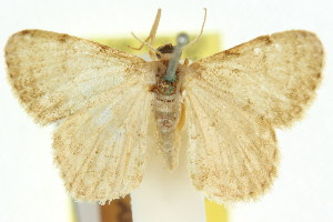 (Idaea rhopalopus - 11ANIC-06434)  @11 [ ] CreativeCommons - Attribution Non-Commercial Share-Alike (2011) CSIRO/BIO Photography Group Centre for Biodiversity Genomics