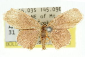 (Idaea sp. ANIC15 - 11ANIC-06440)  @14 [ ] CreativeCommons - Attribution Non-Commercial Share-Alike (2011) CSIRO/BIO Photography Group Centre for Biodiversity Genomics