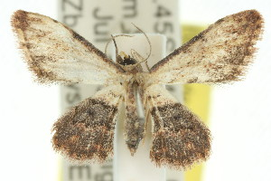 (Idaea sp. ANIC17 - 11ANIC-06448)  @11 [ ] CreativeCommons - Attribution Non-Commercial Share-Alike (2011) CSIRO/BIO Photography Group Centre for Biodiversity Genomics
