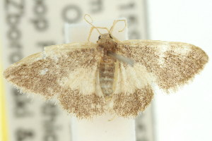 (Idaea sp. ANIC18 - 11ANIC-06450)  @13 [ ] CreativeCommons - Attribution Non-Commercial Share-Alike (2011) CSIRO/BIO Photography Group Centre for Biodiversity Genomics