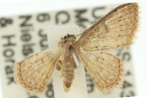 (Idaea sp. ANIC20 - 11ANIC-06452)  @11 [ ] CreativeCommons - Attribution Non-Commercial Share-Alike (2011) CSIRO/BIO Photography Group Centre for Biodiversity Genomics