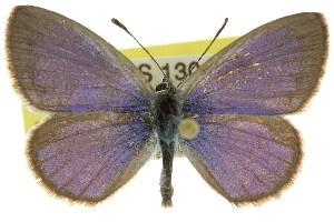 (Polyommatinae - 11ANIC-06699)  @16 [ ] CreativeCommons - Attribution Non-Commercial Share-Alike (2011) CSIRO/BIO Photography Group Centre for Biodiversity Genomics