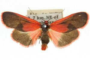 (Scoliacma bicolora - 11ANIC-07925)  @15 [ ] CreativeCommons - Attribution Non-Commercial Share-Alike (2011) CSIRO/BIO Photography Group Centre for Biodiversity Genomics