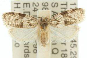 (Cornuticlava - 11ANIC-08935)  @14 [ ] CreativeCommons - Attribution Non-Commercial Share-Alike (2011) CSIRO/BIO Photography Group Centre for Biodiversity Genomics