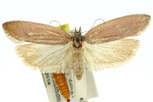 (Crambus humerellus - 11ANIC-10319)  @11 [ ] CreativeCommons - Attribution Non-Commercial Share-Alike (2011) CSIRO/BIO Photography Group Centre for Biodiversity Genomics