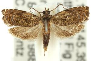 (Eucosma aellaea - 11ANIC-12319)  @11 [ ] CreativeCommons - Attribution Non-Commercial Share-Alike (2011) CSIRO/BIO Photography Group Centre for Biodiversity Genomics
