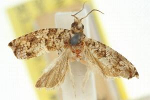 (Eucosma symploca - 11ANIC-12758)  @11 [ ] CreativeCommons - Attribution Non-Commercial Share-Alike (2011) CSIRO/BIO Photography Group Centre for Biodiversity Genomics