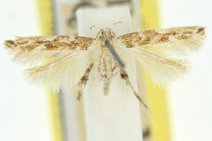 (Isorrhoa aphrosema - 11ANIC-13325)  @11 [ ] CreativeCommons - Attribution Non-Commercial Share-Alike (2011) CSIRO/BIO Photography Group Centre for Biodiversity Genomics