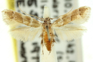 (Isorrhoa sp. ANIC2 - 11ANIC-13332)  @11 [ ] CreativeCommons - Attribution Non-Commercial Share-Alike (2011) CSIRO/BIO Photography Group Centre for Biodiversity Genomics