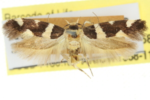 (Macrobathra honoratella - 11ANIC-13358)  @11 [ ] CreativeCommons - Attribution Non-Commercial Share-Alike (2011) CSIRO/BIO Photography Group Centre for Biodiversity Genomics