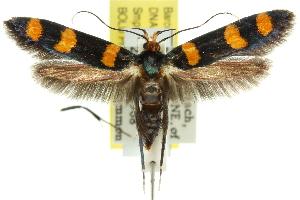 (Limnaecia sp. ANIC1 - 11ANIC-13419)  @15 [ ] CreativeCommons - Attribution Non-Commercial Share-Alike (2011) CSIRO/BIO Photography Group Centre for Biodiversity Genomics