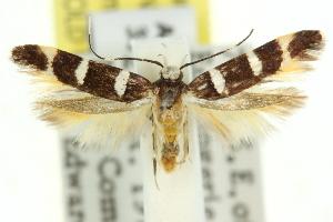 (Limnaecia sp. ANIC12 - 11ANIC-13437)  @14 [ ] CreativeCommons - Attribution Non-Commercial Share-Alike (2011) CSIRO/BIO Photography Group Centre for Biodiversity Genomics