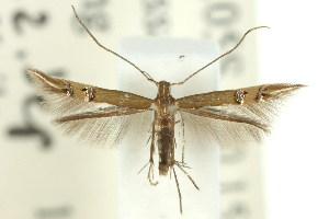 (Cosmopterix chlorochalca - 11ANIC-13705)  @14 [ ] CreativeCommons - Attribution Non-Commercial Share-Alike (2011) CSIRO/BIO Photography Group Centre for Biodiversity Genomics