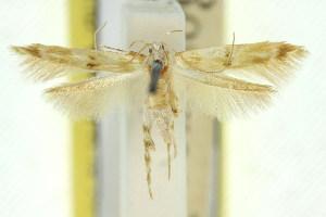 (Persicoptila arenosa - 11ANIC-13715)  @11 [ ] CreativeCommons - Attribution Non-Commercial Share-Alike (2011) CSIRO/BIO Photography Group Centre for Biodiversity Genomics