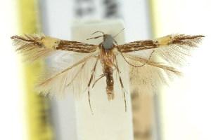 (Cosmopterix epizona - 11ANIC-13729)  @11 [ ] CreativeCommons - Attribution Non-Commercial Share-Alike (2011) CSIRO/BIO Photography Group Centre for Biodiversity Genomics