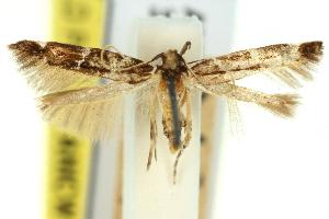 (Limnaecia leucomita - 11ANIC-13808)  @11 [ ] CreativeCommons - Attribution Non-Commercial Share-Alike (2011) CSIRO/BIO Photography Group Centre for Biodiversity Genomics
