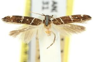(Limnaecia leucomita - 11ANIC-13809)  @11 [ ] CreativeCommons - Attribution Non-Commercial Share-Alike (2011) CSIRO/BIO Photography Group Centre for Biodiversity Genomics