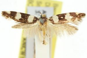 (Limnaecia orbigera - 11ANIC-13810)  @11 [ ] CreativeCommons - Attribution Non-Commercial Share-Alike (2011) CSIRO/BIO Photography Group Centre for Biodiversity Genomics