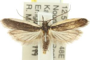 (Chelariinae - 11ANIC-15058)  @16 [ ] CreativeCommons - Attribution Non-Commercial Share-Alike (2011) CSIRO/BIO Photography Group Centre for Biodiversity Genomics