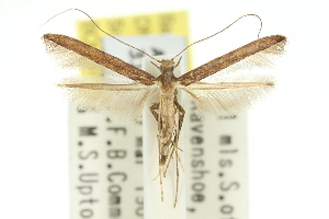 (Caloptilia euglypta - 11ANIC-16129)  @11 [ ] CreativeCommons - Attribution Non-Commercial Share-Alike (2011) CSIRO/BIO Photography Group Centre for Biodiversity Genomics