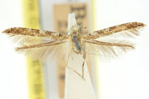 (Caloptilia albospersa - 11ANIC-16133)  @11 [ ] CreativeCommons - Attribution Non-Commercial Share-Alike (2011) CSIRO/BIO Photography Group Centre for Biodiversity Genomics