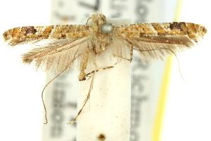 (Caloptilia plagata - 11ANIC-16156)  @11 [ ] CreativeCommons - Attribution Non-Commercial Share-Alike (2011) CSIRO/BIO Photography Group Centre for Biodiversity Genomics