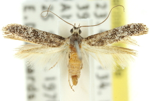 (Caloptilia sp. ANIC12 - 11ANIC-16171)  @11 [ ] CreativeCommons - Attribution Non-Commercial Share-Alike (2011) CSIRO/BIO Photography Group Centre for Biodiversity Genomics