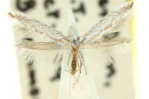 (Caloptilia sp. ANIC13 - 11ANIC-16173)  @11 [ ] CreativeCommons - Attribution Non-Commercial Share-Alike (2011) CSIRO/BIO Photography Group Centre for Biodiversity Genomics