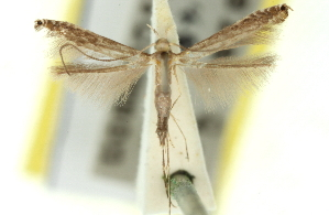 (Metacercops - 11ANIC-16188)  @11 [ ] CreativeCommons - Attribution Non-Commercial Share-Alike (2011) CSIRO/BIO Photography Group Centre for Biodiversity Genomics