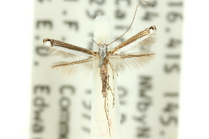 (Caloptilia sp. ANIC16 - 11ANIC-16190)  @11 [ ] CreativeCommons - Attribution Non-Commercial Share-Alike (2011) CSIRO/BIO Photography Group Centre for Biodiversity Genomics