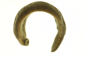 (Haemopidae - BIOUG00690-H03)  @14 [ ] CC-0 (2011) CBG Photography Group Centre for Biodiversity Genomics