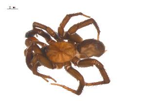 (Antrodiaetidae - BIOUG25736-C03)  @15 [ ] CreativeCommons - Attribution Non-Commercial Share-Alike (2015) G. Blagoev Centre for Biodiversity Genomics