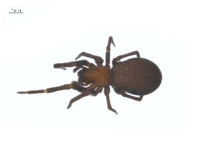 (Titanoecidae - CCDB-28549-G01)  @15 [ ] CreativeCommons - Attribution Non-Commercial Share-Alike (2015) G. Blagoev Centre for Biodiversity Genomics