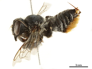 (Megachile pollinosa - BIOUG36791-F01)  @14 [ ] CreativeCommons - Attribution Non-Commercial Share-Alike (2019) CBG Photography Group Centre for Biodiversity Genomics