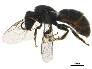(Lasioglossum CHI02 - BIOUG36793-B09)  @14 [ ] CreativeCommons - Attribution Non-Commercial Share-Alike (2019) CBG Photography Group Centre for Biodiversity Genomics