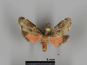 (Talara mona - DR14_0095)  @11 [ ] CreativeCommons - Attribution Non-Commercial Share-Alike (2018) Dominik Rabl University of Vienna, Dept of Botany and Biodiversity Research