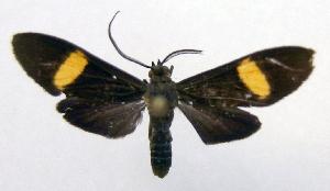 (Epidesma parva - MBe0014)  @11 [ ] Copyright (2018) Unspecified Forest Zoology and Entomology (FZE) University of Freiburg