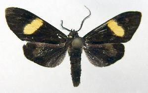 (Epidesma PP657 - MBe0017)  @11 [ ] Copyright (2018) Unspecified Forest Zoology and Entomology (FZE) University of Freiburg